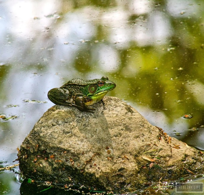 Green Frog in Pond Great for Your Garden | ahealthylifeforme.com