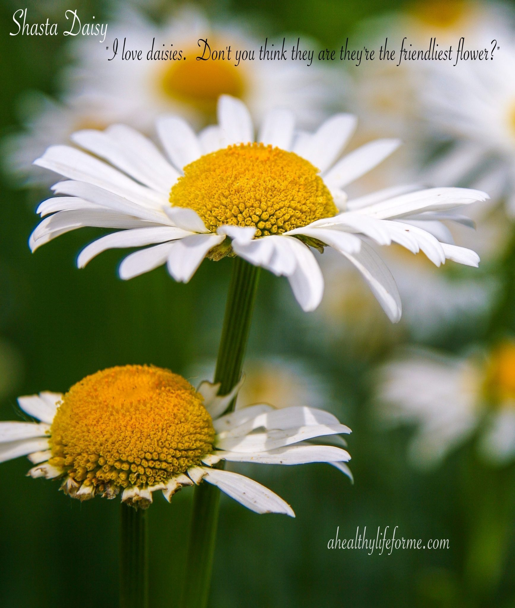 How to grow shasta daisy a healthy life for me when we moved into our home there was a flower bed in the back that was in a very shady part of the yard where a clump of shasta daisies leucanthemum x izmirmasajfo