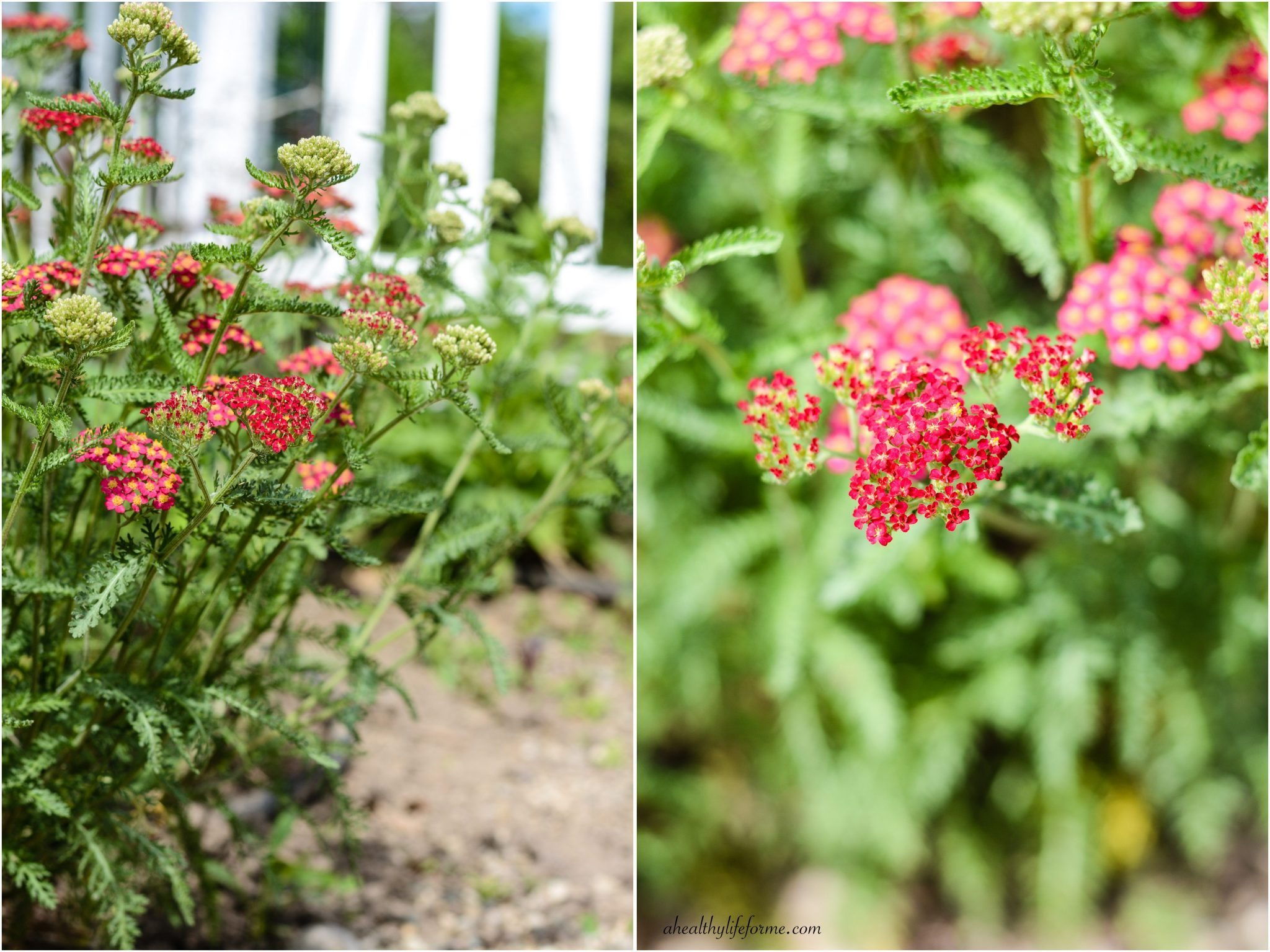 How to Grow and Care for Yarrow - A Healthy Life For Me