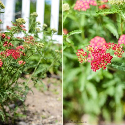 How to Grow and Care for Yarrow