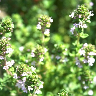 Thyme is a Herb that Cures all Diseases