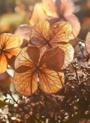 Oak-Hydrangea
