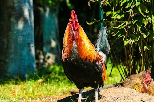 Sounds and Actions of a Rooster - A Healthy Life For Me