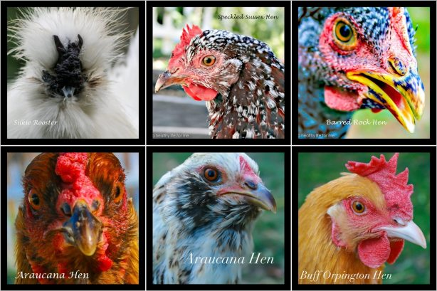 Chicken Care in January