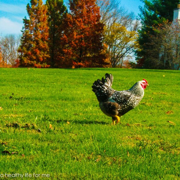 Amy Stafford's Hen Free Ranging Chicken