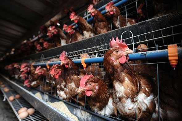 Hens kept for egg laying