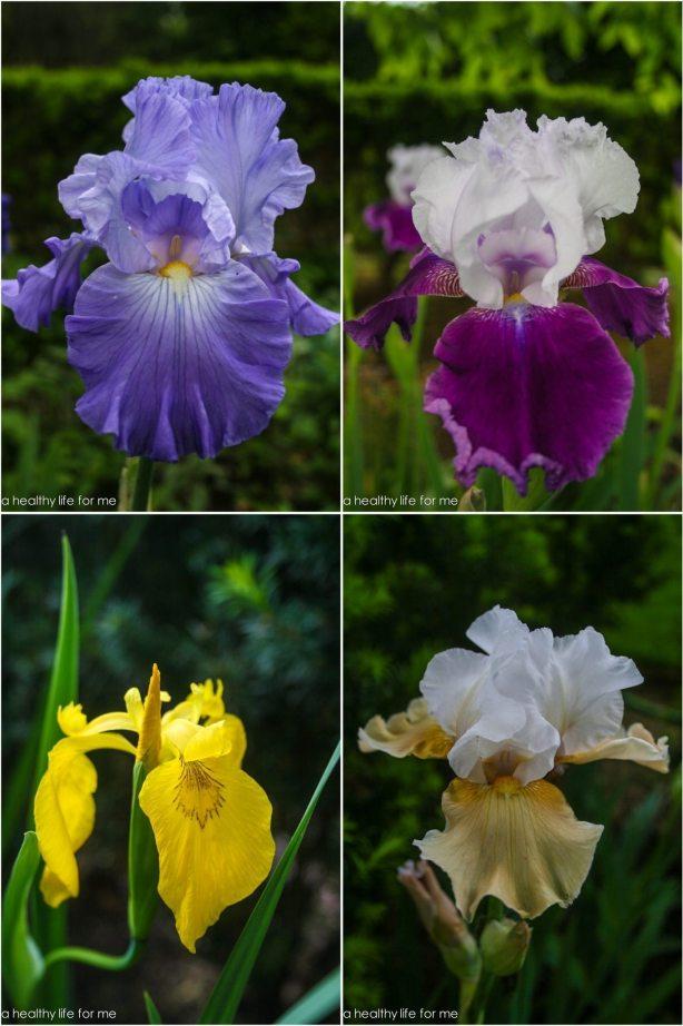 Iris blooms gardening spring