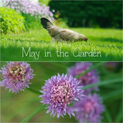 End of May in the Garden; Iris, Rose and Tomato care