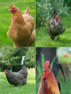 Vegetable and Perennial care in May; Chicken update