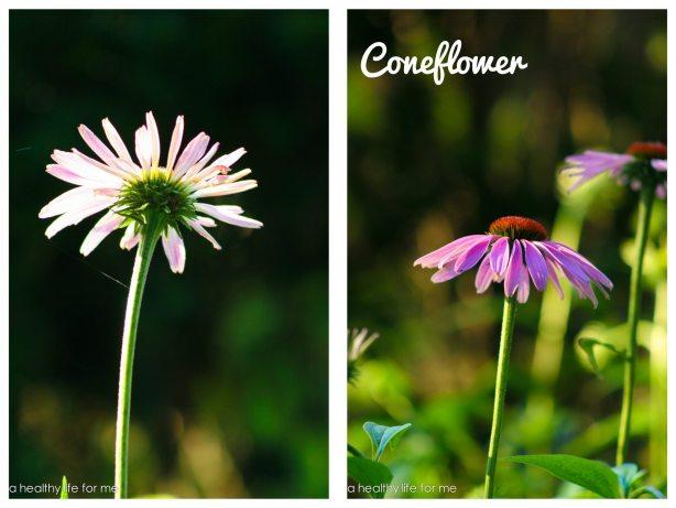 Echinacea Gardening How to