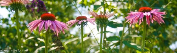 Coneflower in Naturalizing Bed, Echinacea, Bumble Bee
