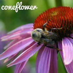 How To Plant and Care for Coneflower