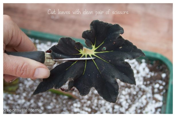 Begonia leaves cut