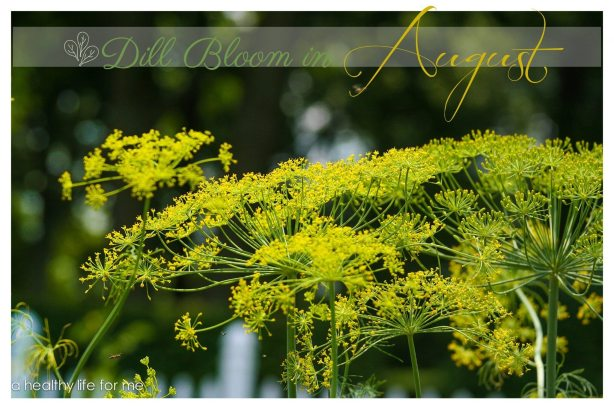 Dill Flower head in August How To Grow and Harvest