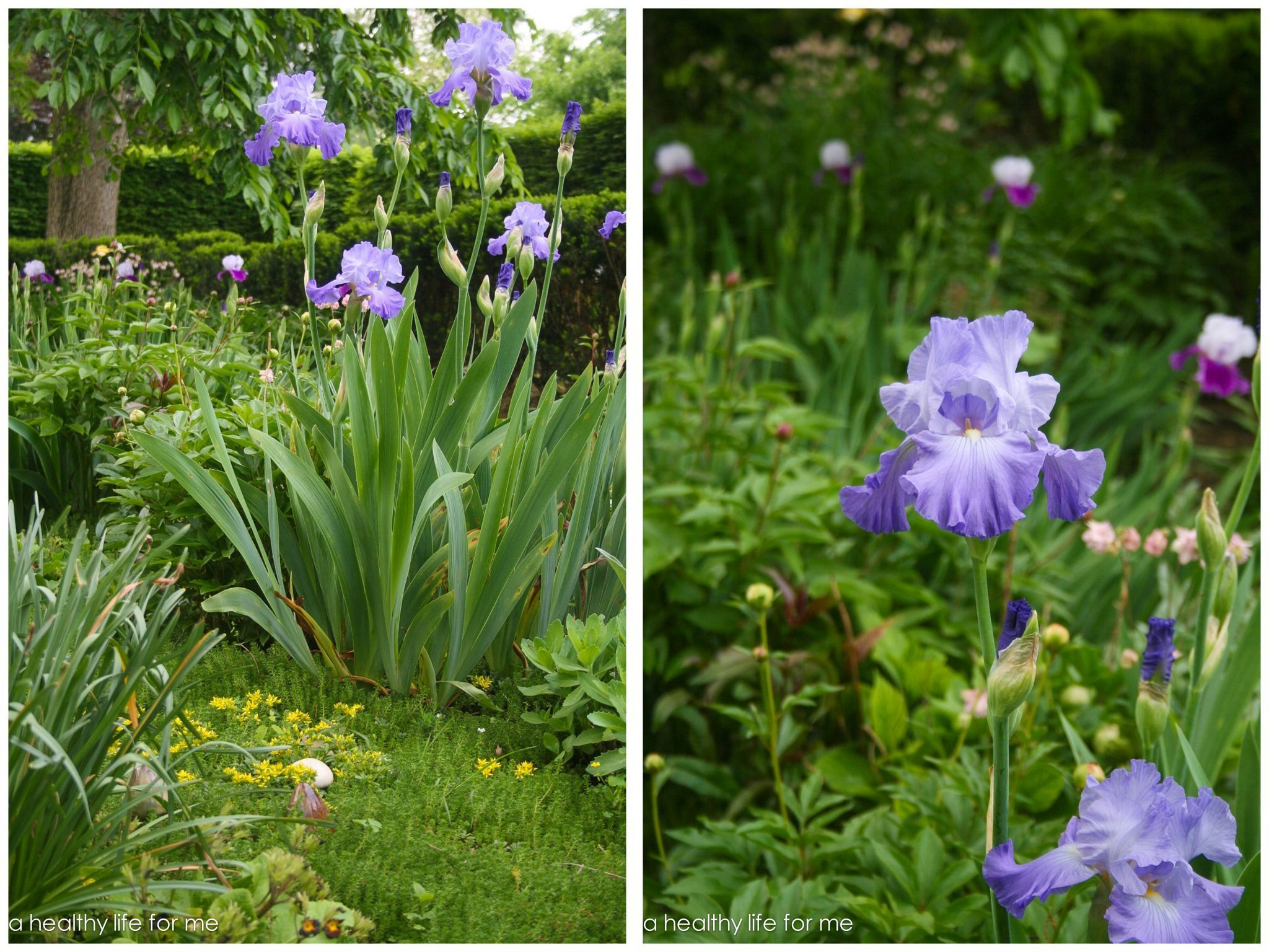 How to plant bearded iris a healthy life for me irises are one of the earliest blooming and easiest perennial flowers to grow izmirmasajfo