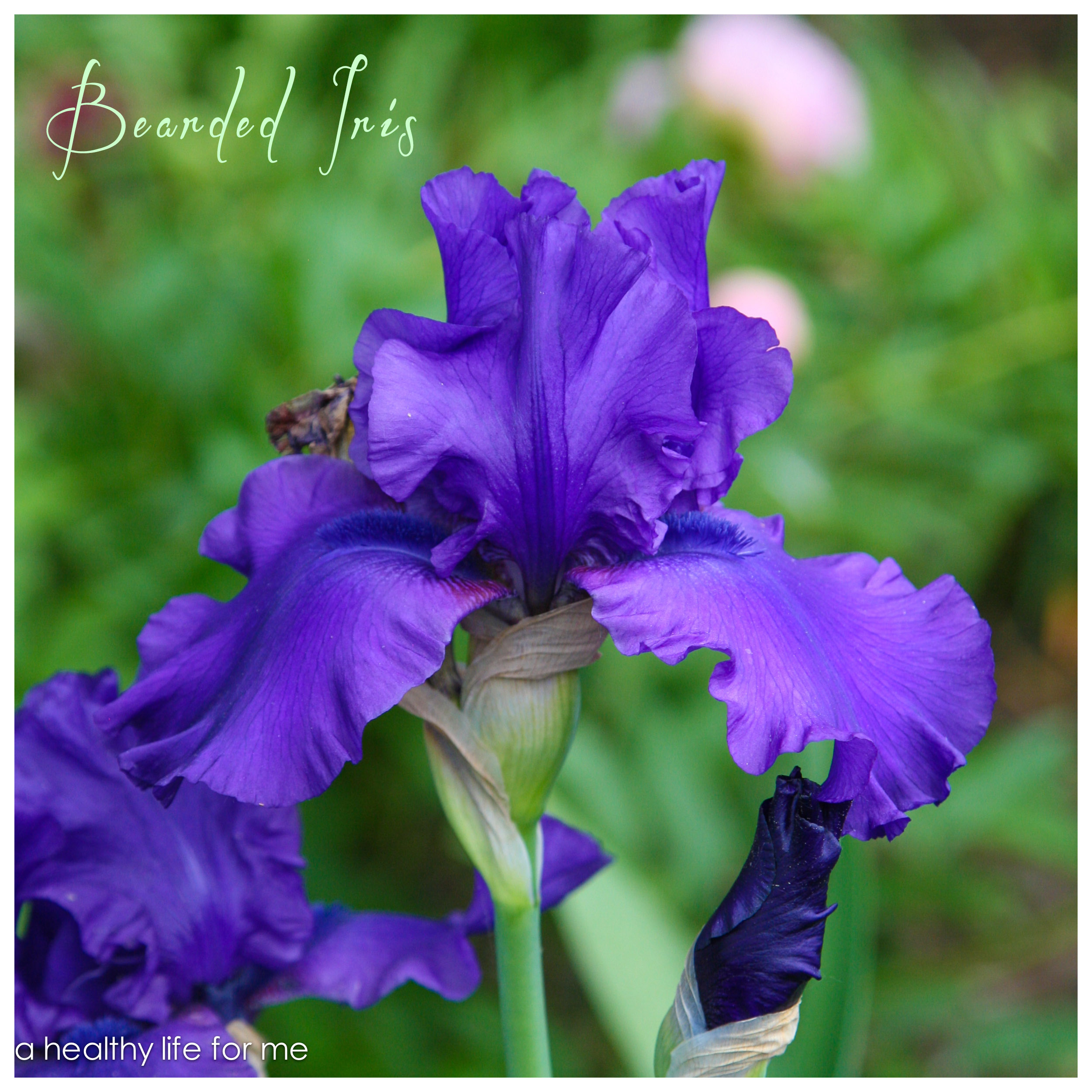 How To Plant Bearded Iris A Healthy Life For Me