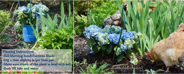 Endless Summer Bloom Struck Hydrangea | How to Grow Hydrangea