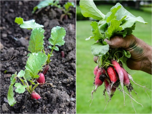 Radishes from the garden | Orange and Radish Salad | ahealthylifeforme.com