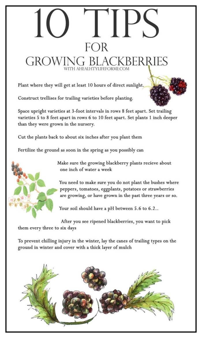 10 Tips for growing blackberries