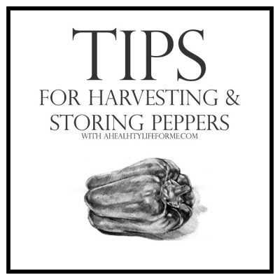 Tips for Harvesting and Storing Peppers