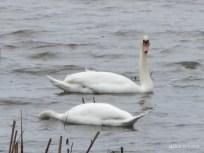 Swans IMG_0896C