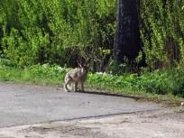 Hare IMG_0981C