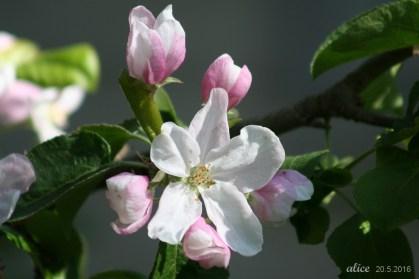 Apple blossom IMG_5147C