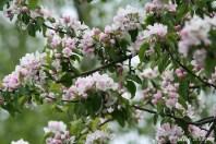 Apple blossom IMG_5157C