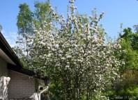 Apple blossom IMG_5166C