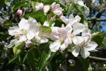 Apple blossom IMG_5169C