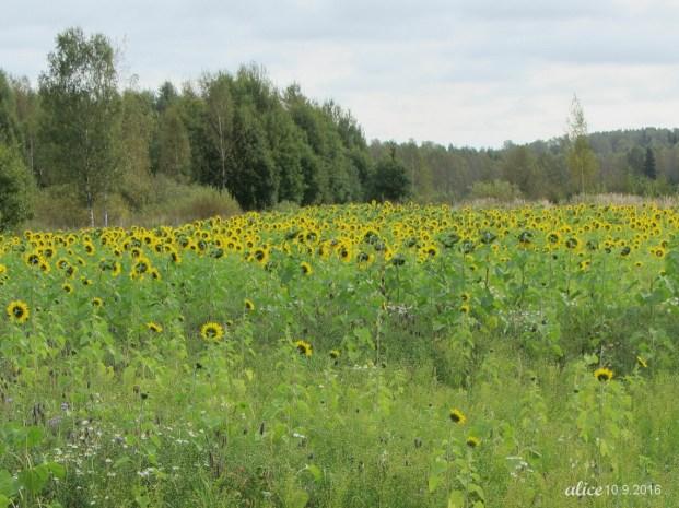 Sunflowers img_1776c
