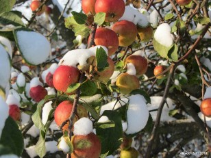 snow on apple tree img_2403c