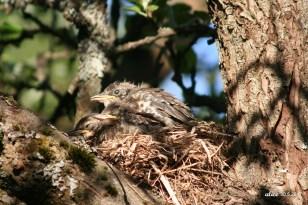 bird chicks in the nest IMG_5365C