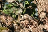 bird chicks in the nest IMG_5368C