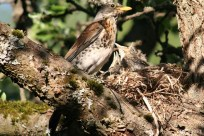 bird chicks in the nest IMG_5369C
