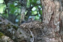 Bird chick in the nest IMG_5399C