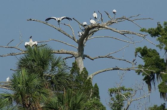 Aucilla Wood storks
