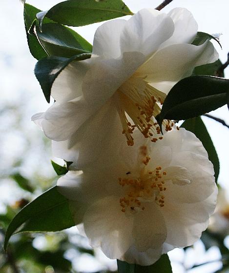 camellia -Jack Carswell Garden