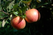 Apples 5