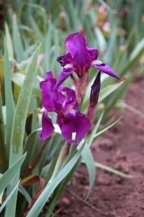 Flora of Roz Carr's Gardens 15