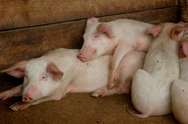 Ros Carr's - Pigs 2