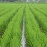 Budidaya Padi: Jarwo super bisa dongkrak panen padi hingga 14 ton per hektar