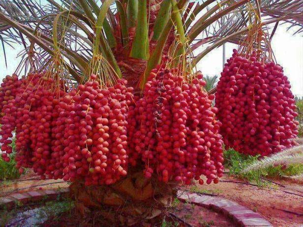 Kurma Tanaman Istimewa dan Sumber Makanan Masa Depan
