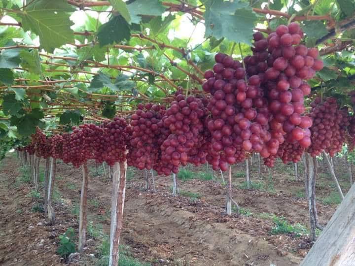 7 Cara Menanam Anggur Dalam Pot Berbuah Lebat Ahlitani Com