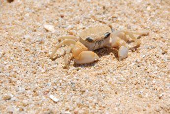Crab at Bang Niang Beach