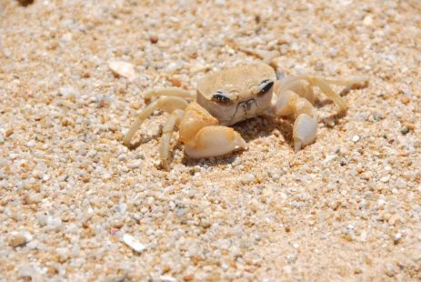 Crab at Bang Niang Beach