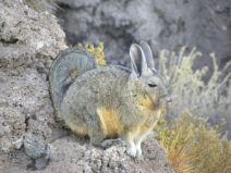 Viscacha