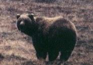 grizzlydenali