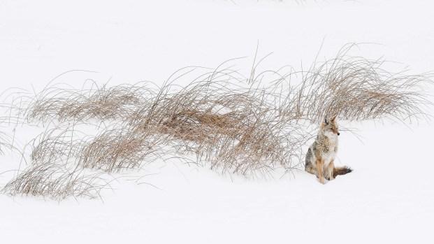David Renwald's Placid Coyote