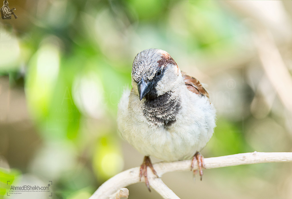 House Sparrow - العصفور الدورى
